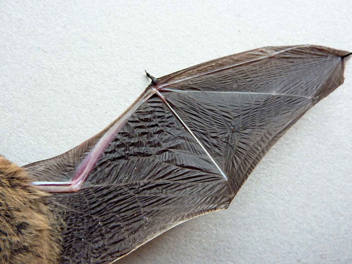 A view of the undersurface of a bat wing that shows the free thumb