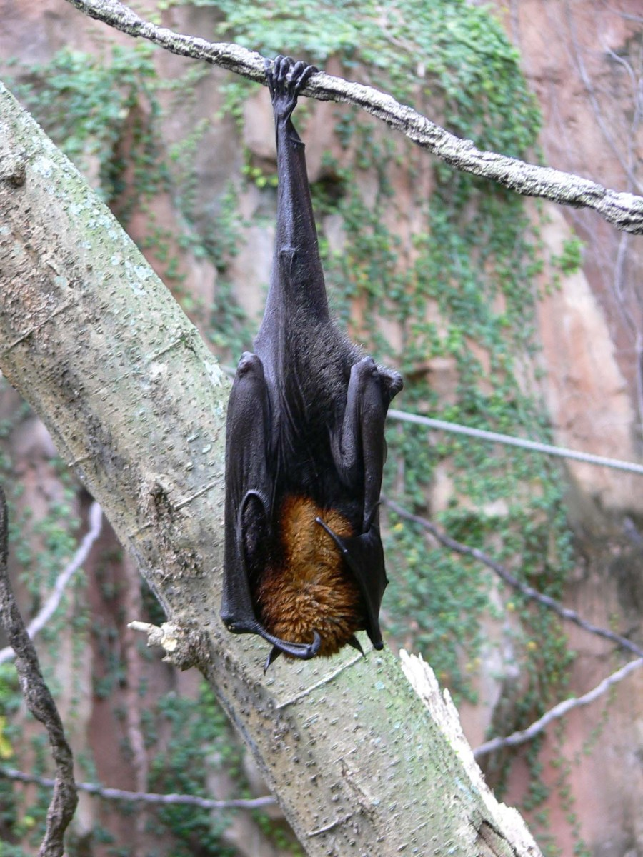 A large flying fox hanging by one foot