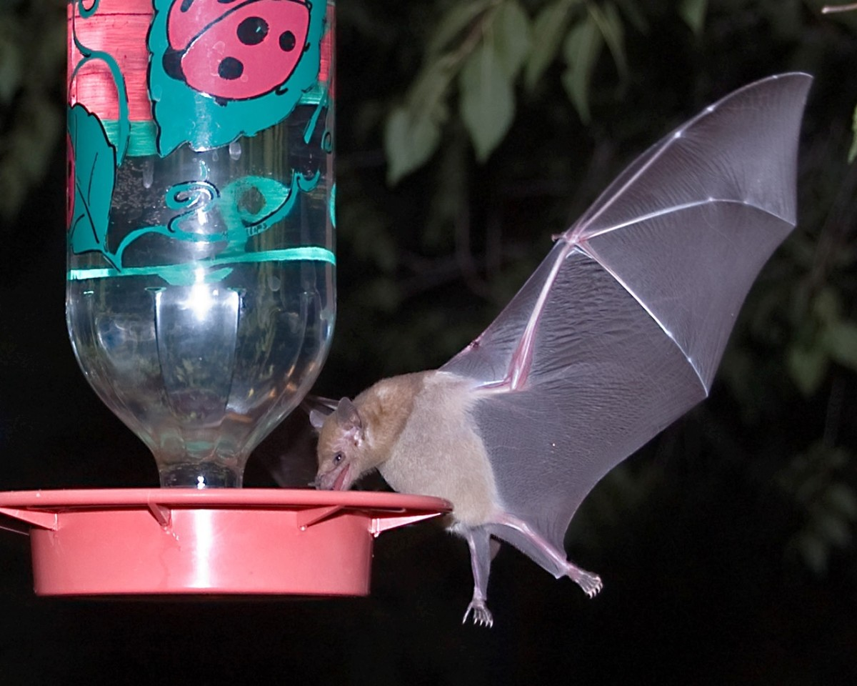 A microbat at a hummingbird feeder