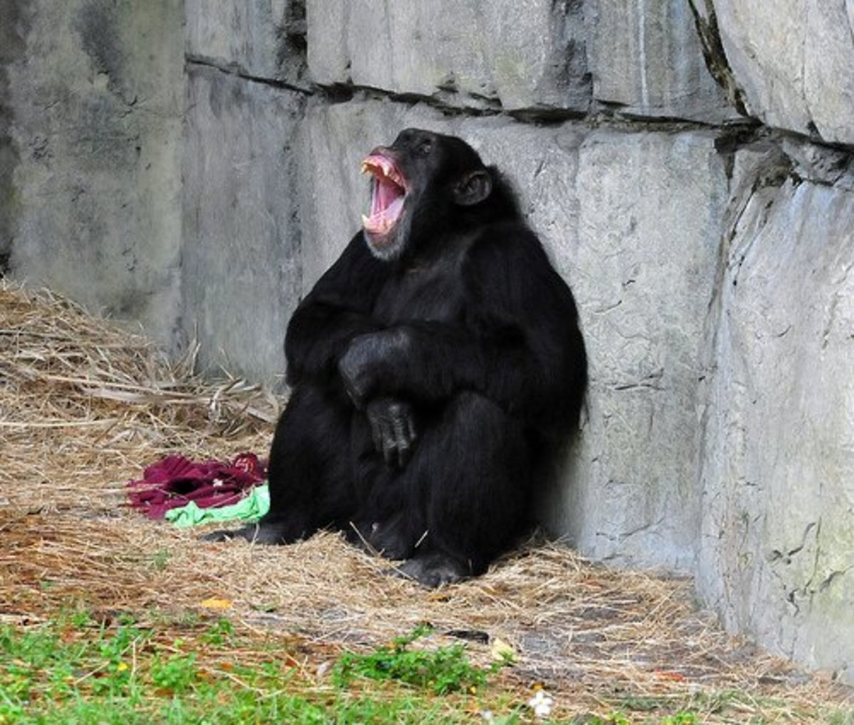 When a chimpanzee laughs, it is a sign of stress or aggression.