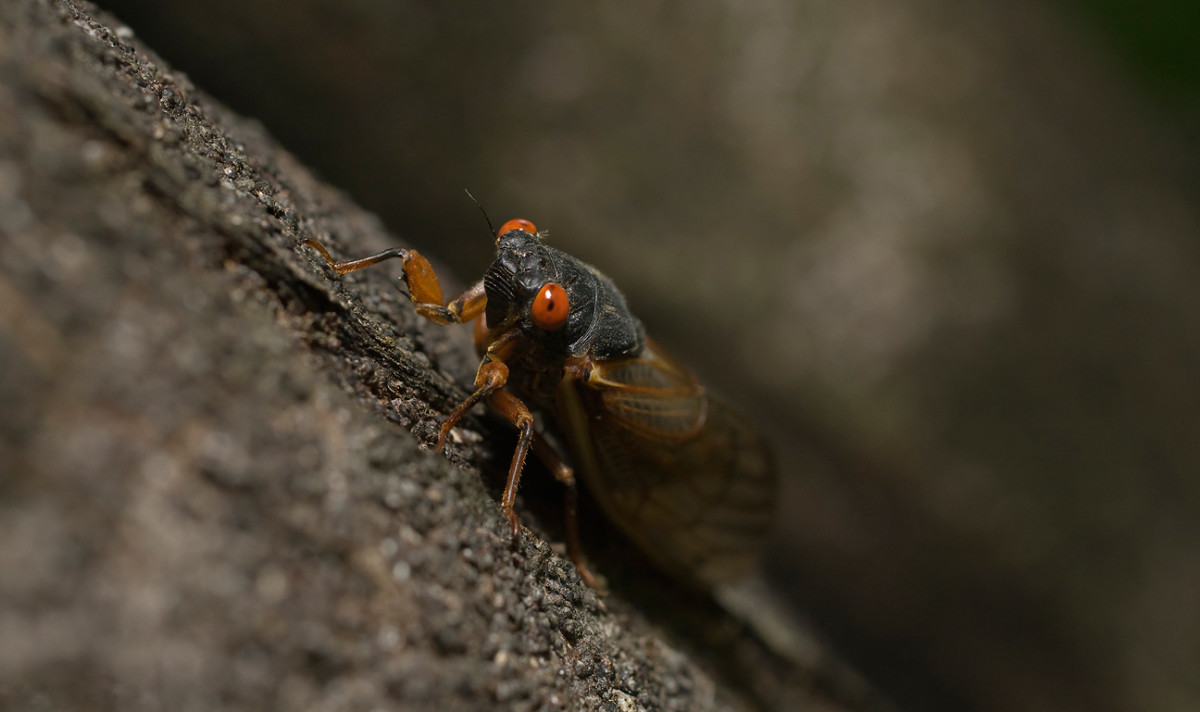 Picture Of A Cicada