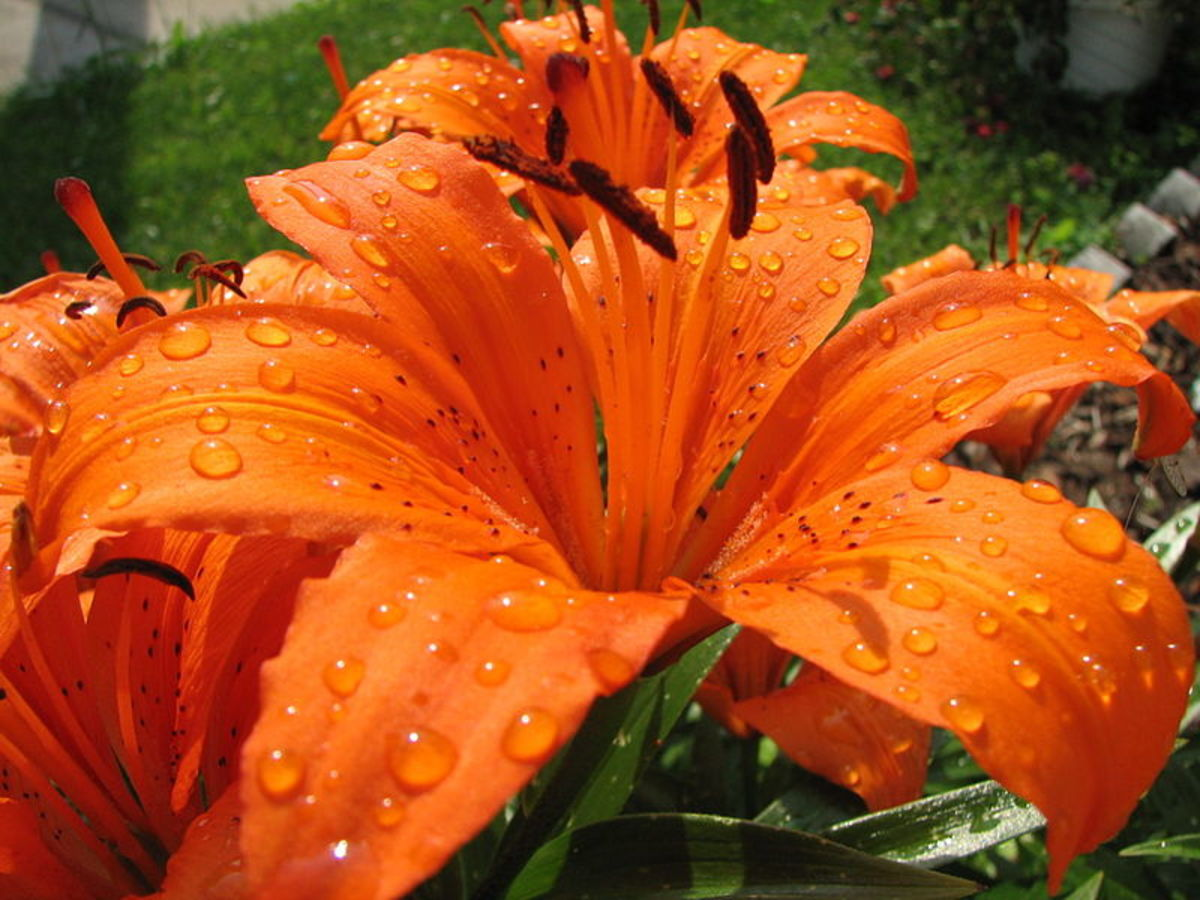 Tiger lily after rain.