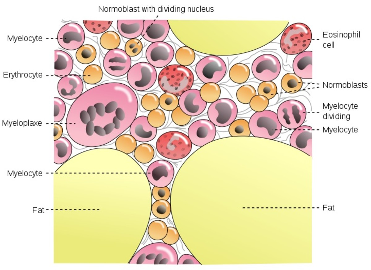 An illustration showing some of the many types of cells found in bone marrow