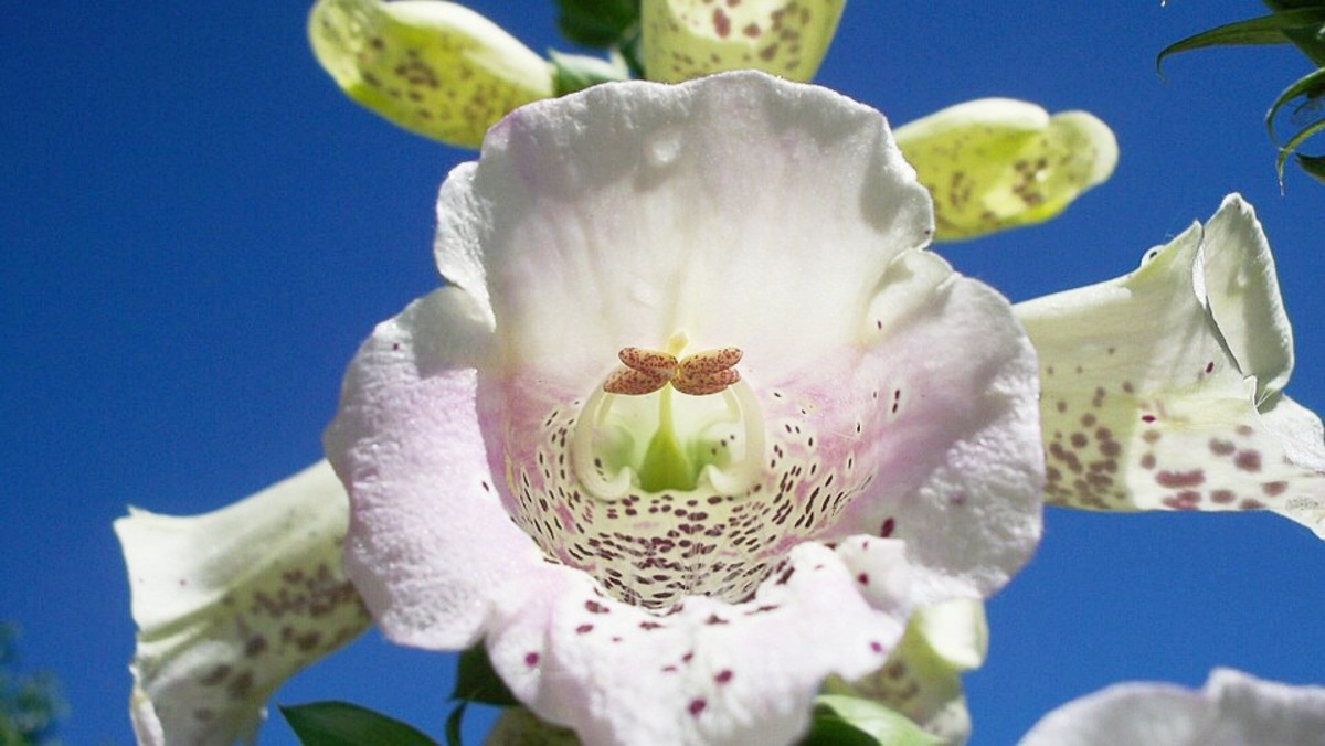 Inside a foxglove flower