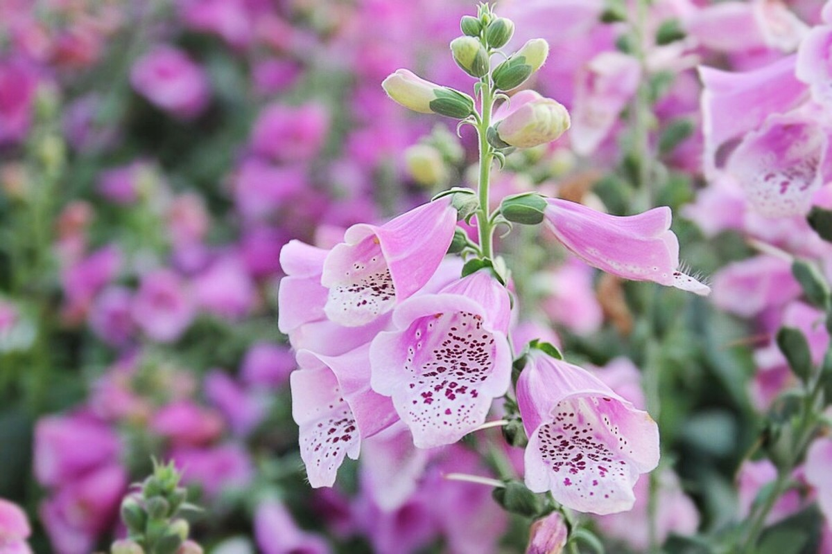 A group of foxgloves can be an attractive sight.
