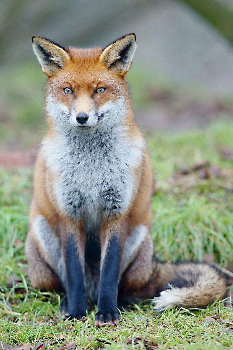 Foxgloves may or may not have been named after foxes. This is a European red fox.