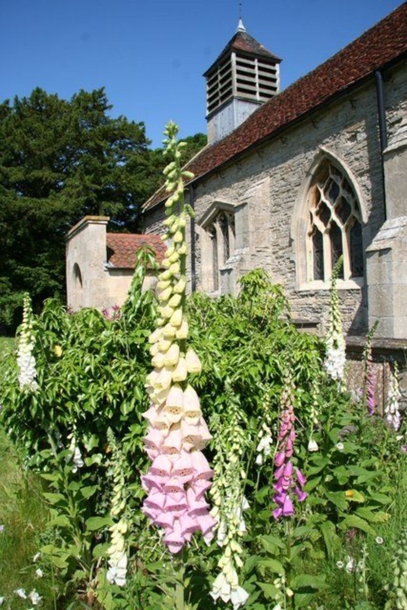 Foxgloves outside an English church. The spire in the foreground bears flowers of two different colors—pale yellow and light pink.