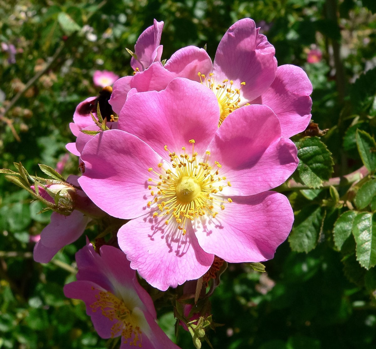Rosa rubiginosa is a single rose.