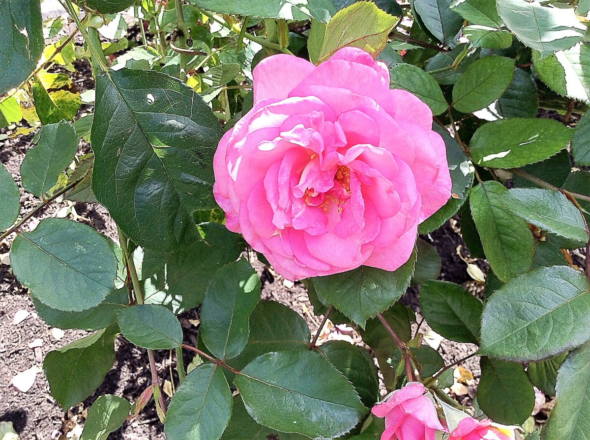 Roses Plant And Flower Facts Photos And Symbolic Meanings