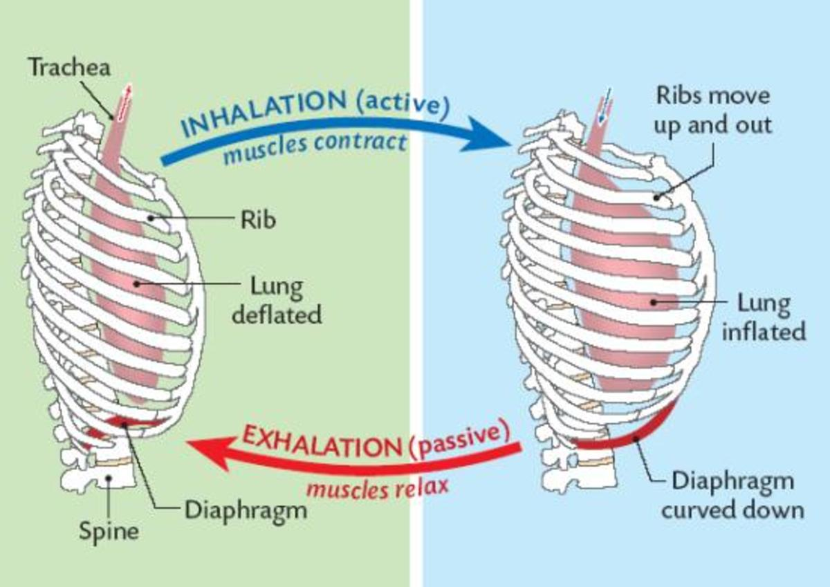 Lung Compliance And Elastance Owlcation