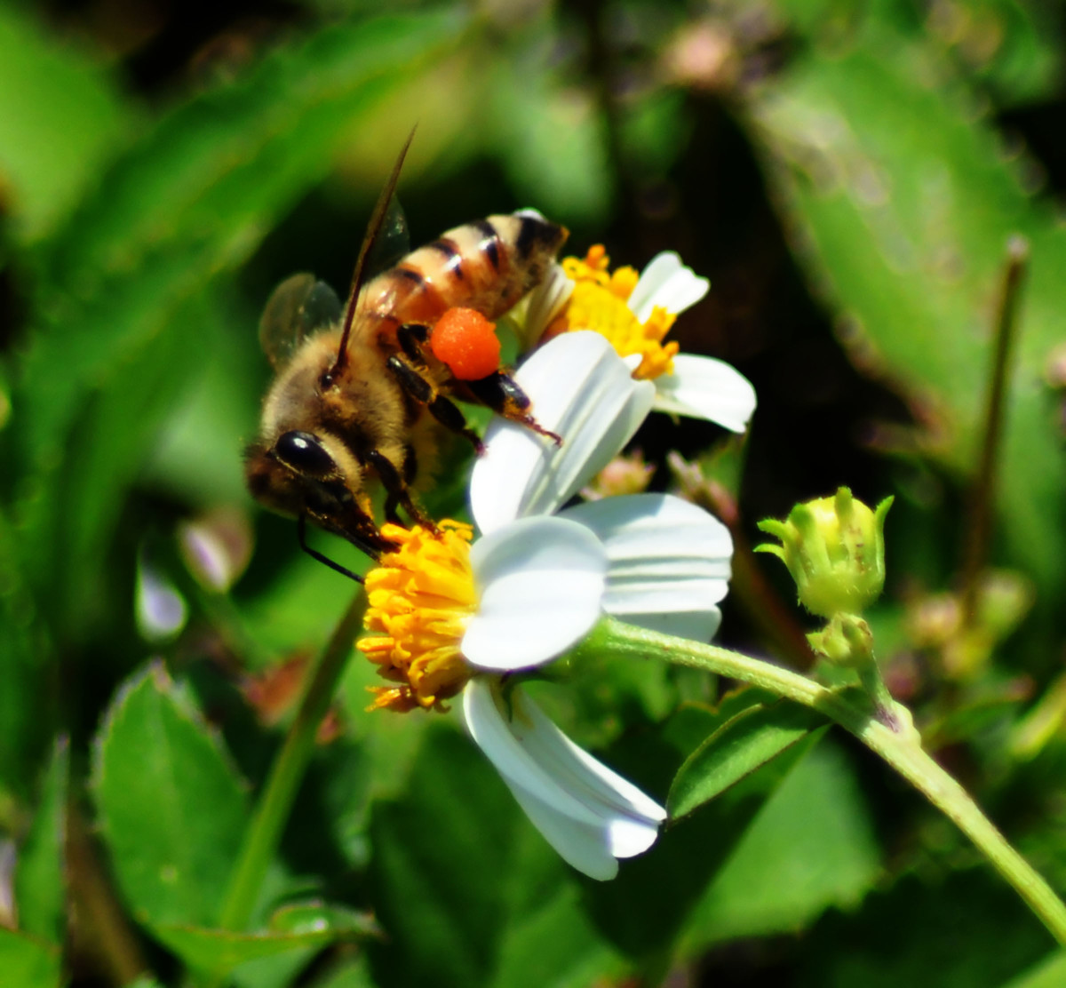 Female Honeybee Gathering Pollen