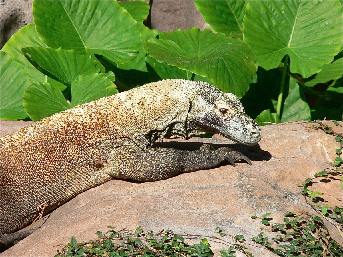 A captive Komodo dragon