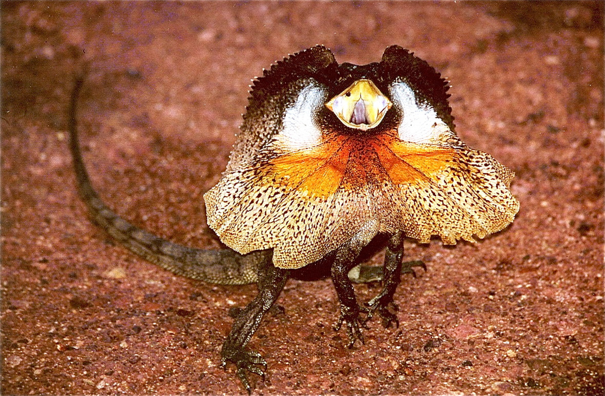A frilled dragon performing its threat display