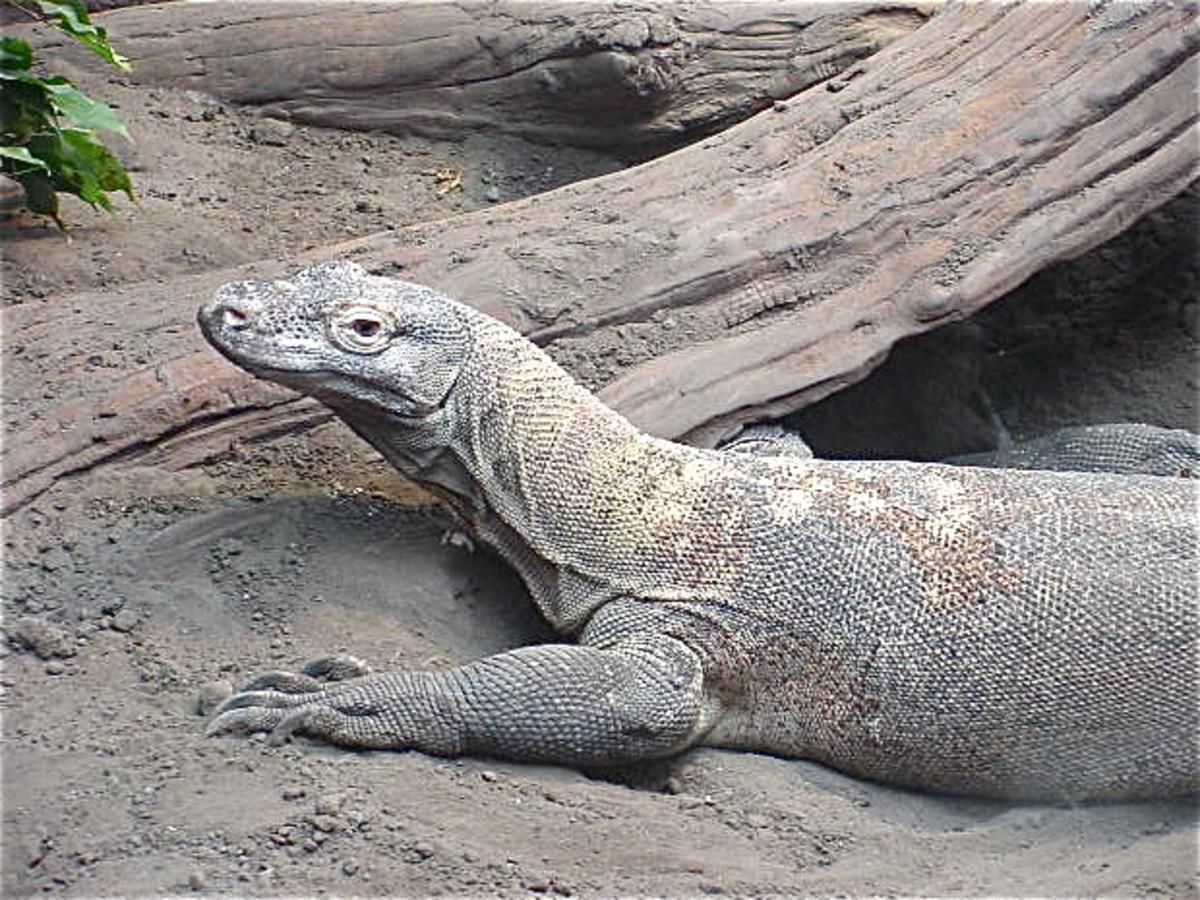 A resting Komodo dragon