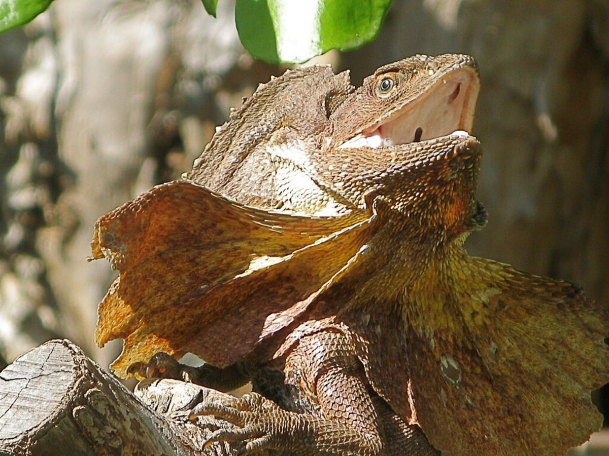 Another frilled dragon