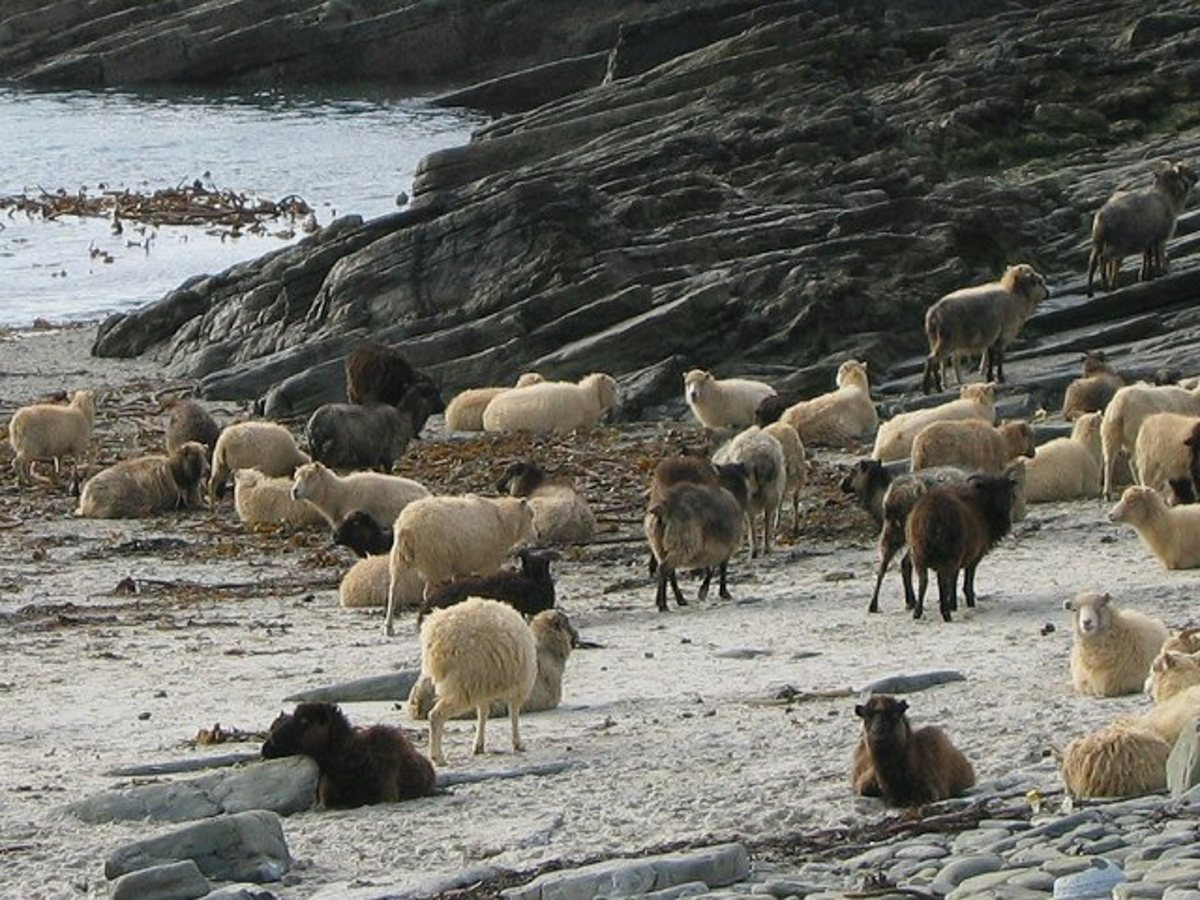 As an example of how much the sea impacts Orkney life, these sheep are a special breed which has evolved to eat seaweed. Their stomachs can no longer digest grass.