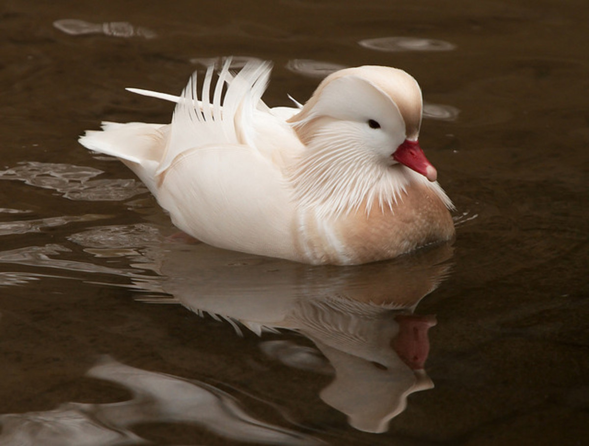 Some mandarin ducks have developed a recessive case of albinism as a result of selective breeding.
