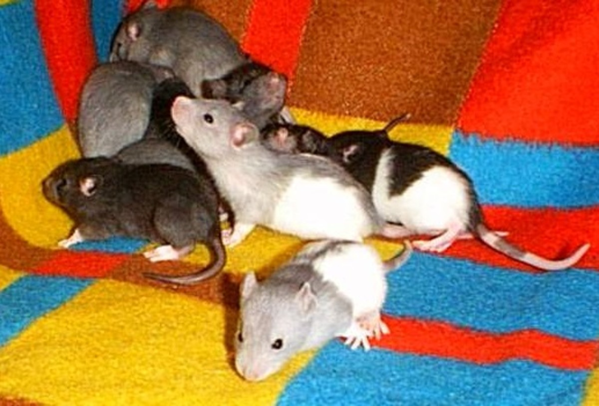 Rats that were prevented from dreaming died from hypothermia.