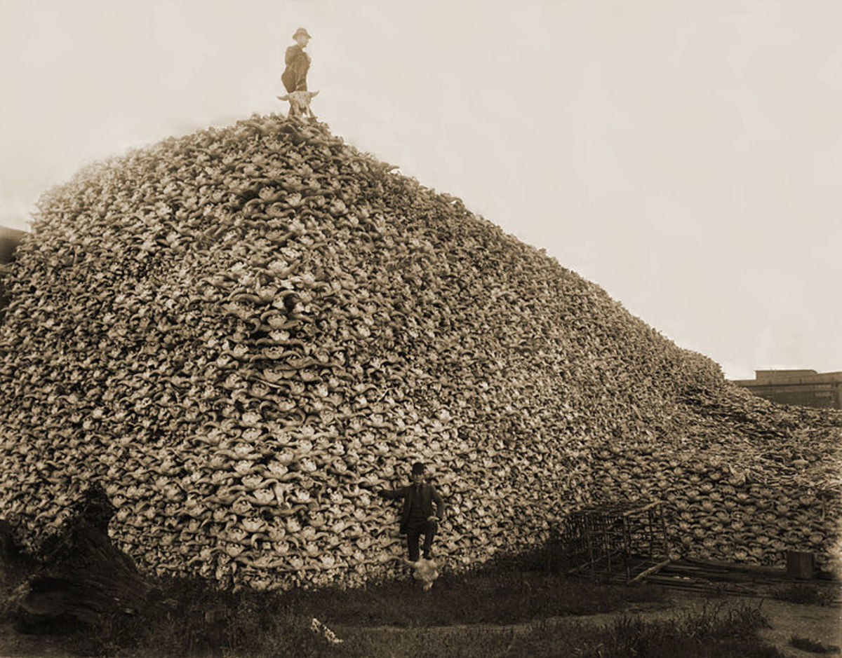 This mountain of bison skulls bears sad testimony to the slaughter of greedy market hunters in the late 1800s and early 1900s. Fortunately, biologists, sport hunters, and politicians such as Teddy Roosevelt saw the danger and took action to preserve