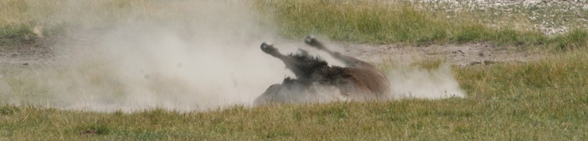 A bull bison rolls in the dusk in an effort to get rid of pesky insects.