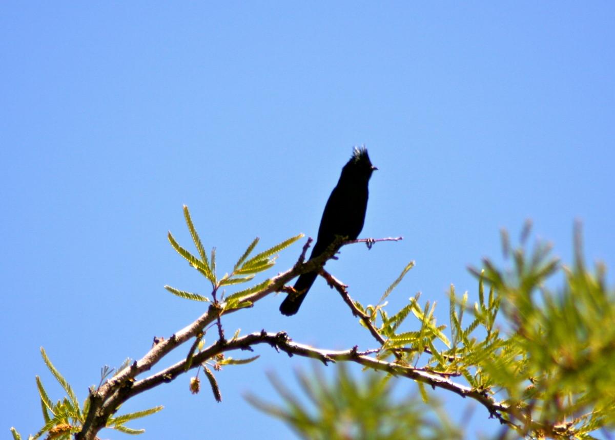 The roadrunner's camera-shy neighbor, the phainopepla, in the ubiquitous mesquite tree.