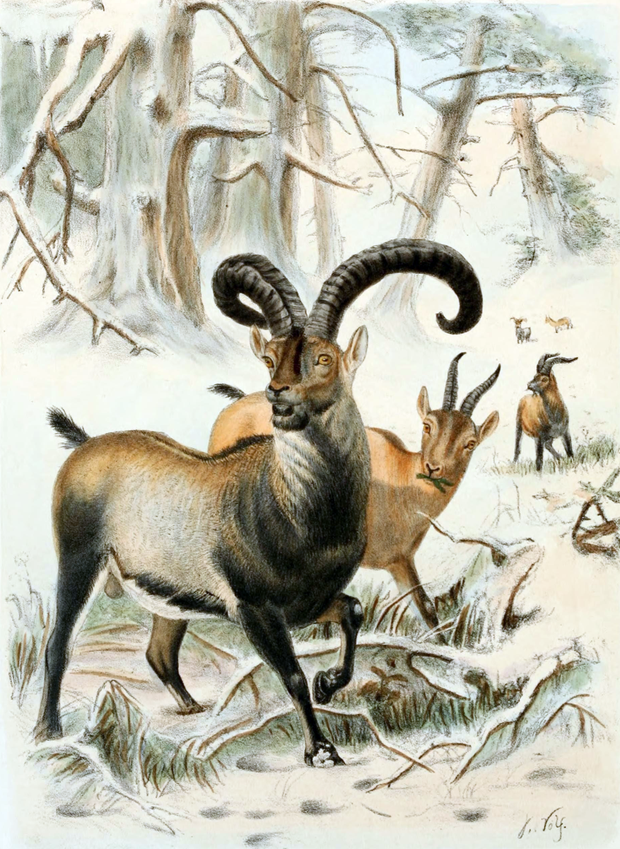 An illustration of a Pyrenean ibex, or bucardo