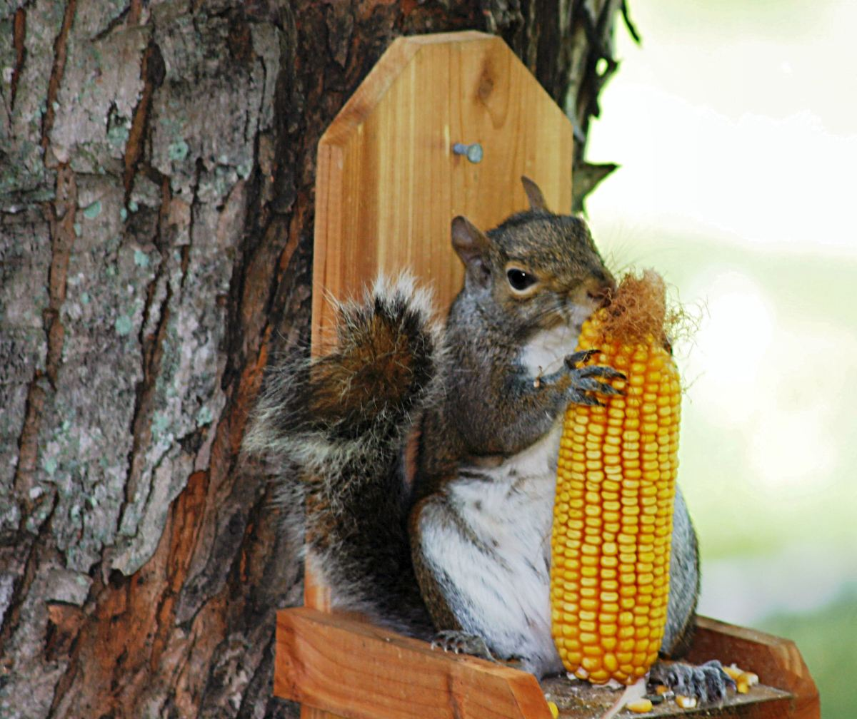 Squirrel teeth never stop growing, so they sharpen them on whatever is available. Dried corn on the cob is a favorite treat.