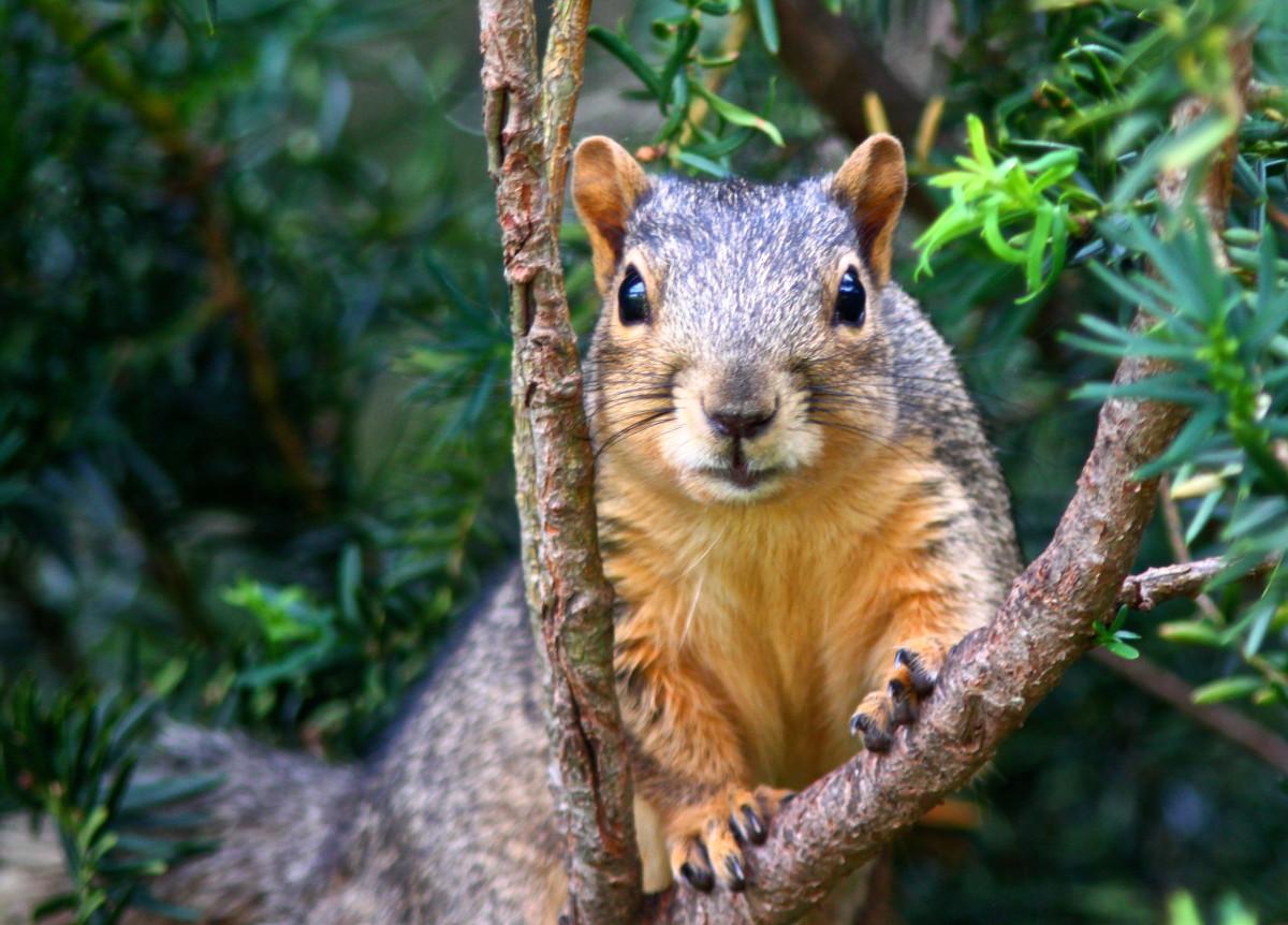 Squirrels or Raccoons?