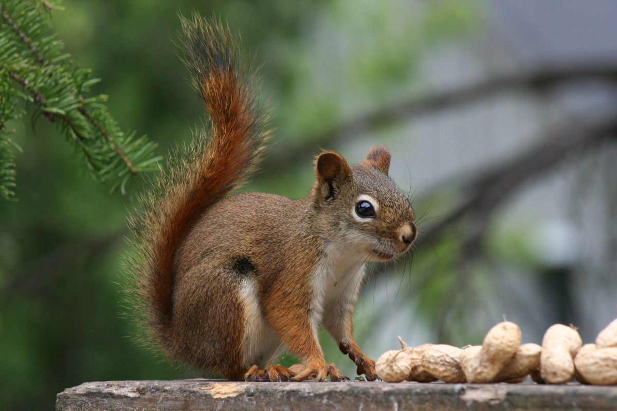 The smart squirrel saves for his future.