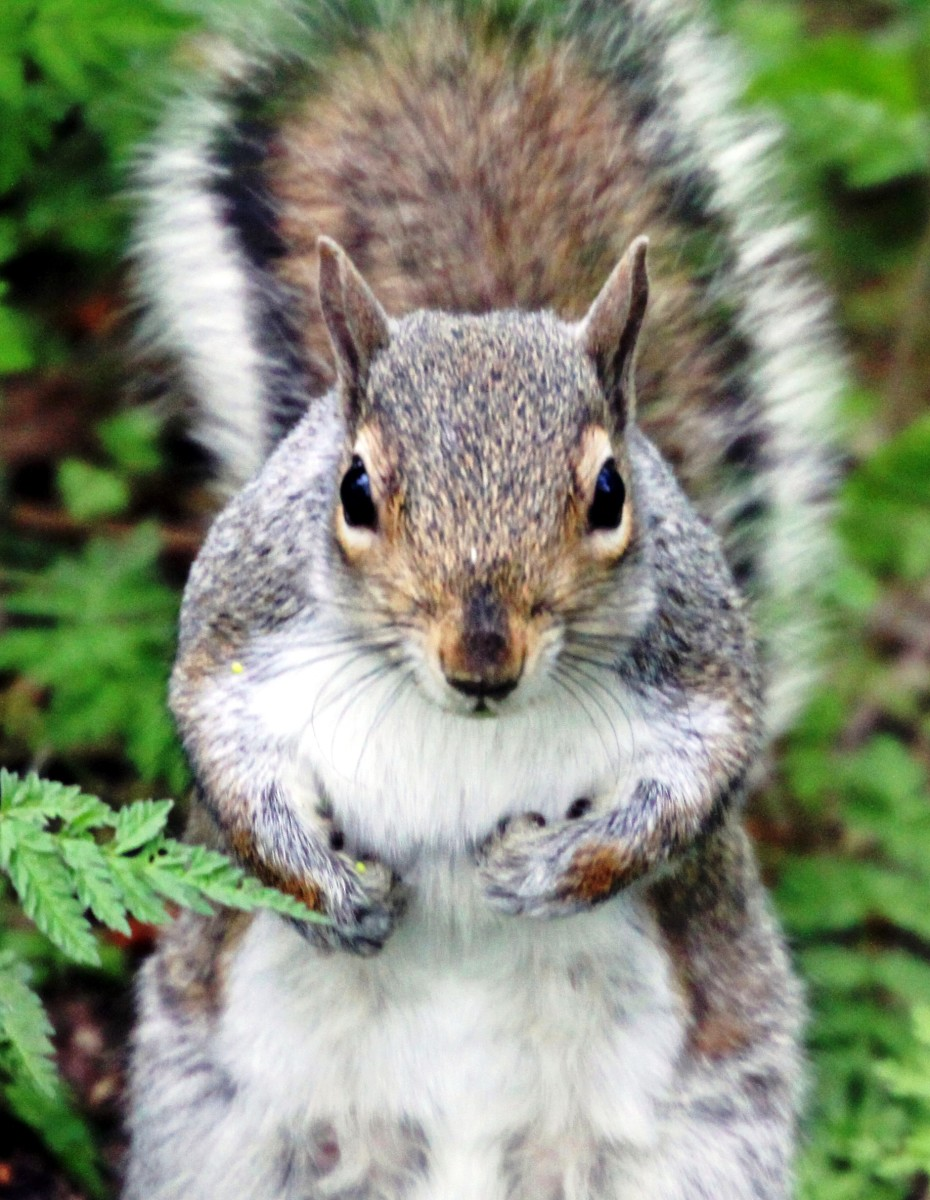 Thanks to resourceful planning, this squirrel has built a main nest and one or more back-up nests.  He has planned for emergencies.  Do you have a Plan B?