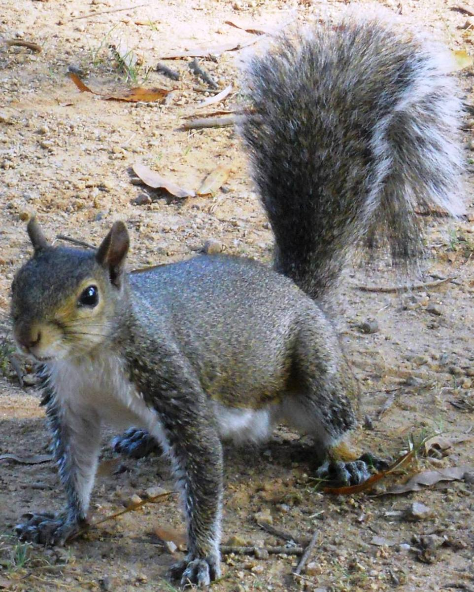 There are 285 species of squirrels worldwide, and they come in a variety of colors:  grey, tawny brown, black, and reddish.  Squirrels are active, alert, and inquisitive.