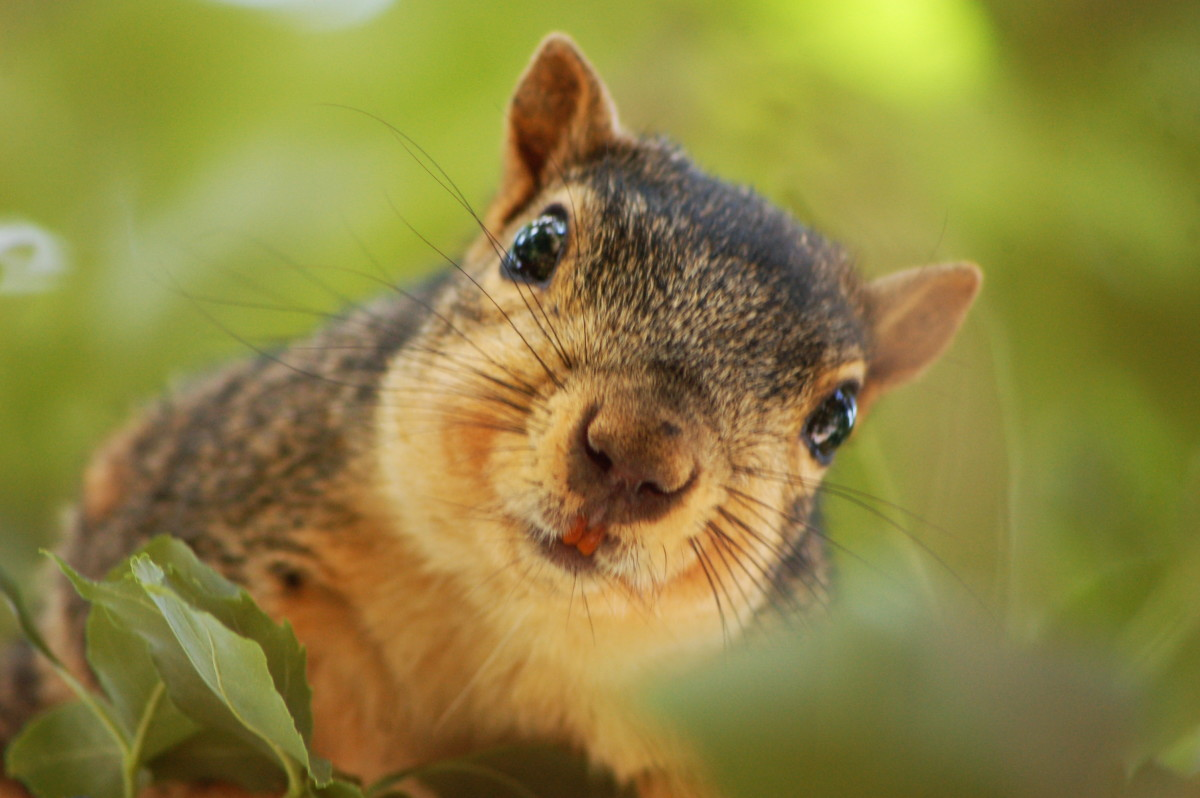 Squirrels must continually chew on tree branches, nuts hulls and other objects to wear down their teeth because they never stop growing.