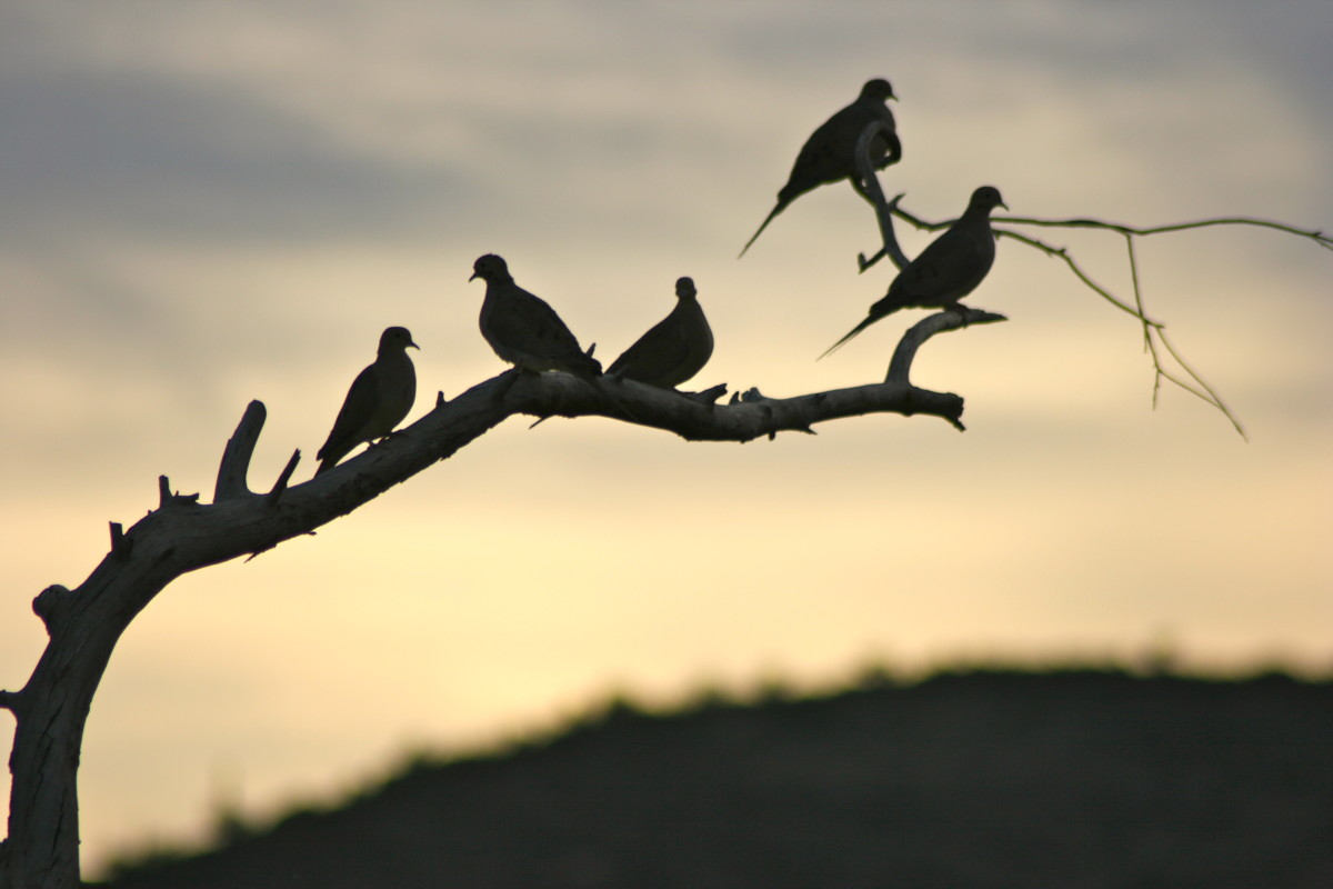 Roosting doves at dusk.  New River, Arizona.