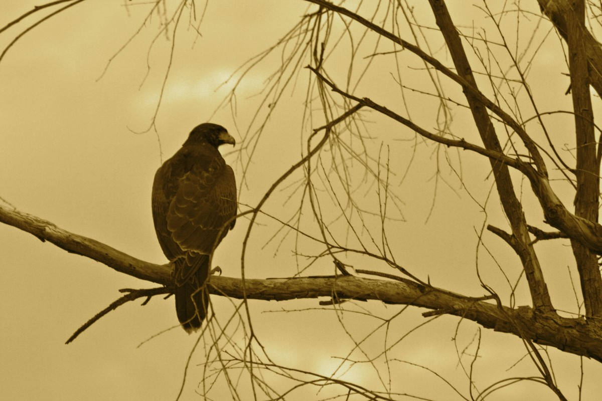 A Harris's hawk, New River, Arizona.