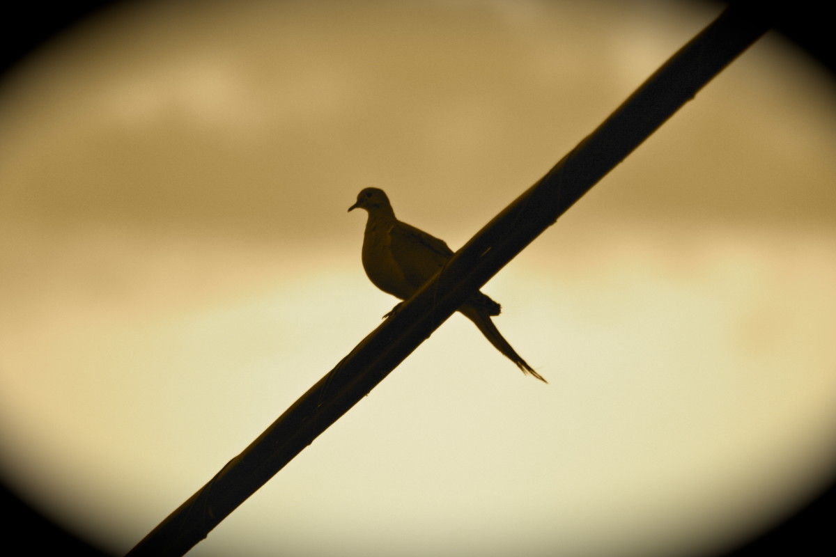 """Like a bird on a wire ..."" -- even Leonard Cohen was inspired by them!"