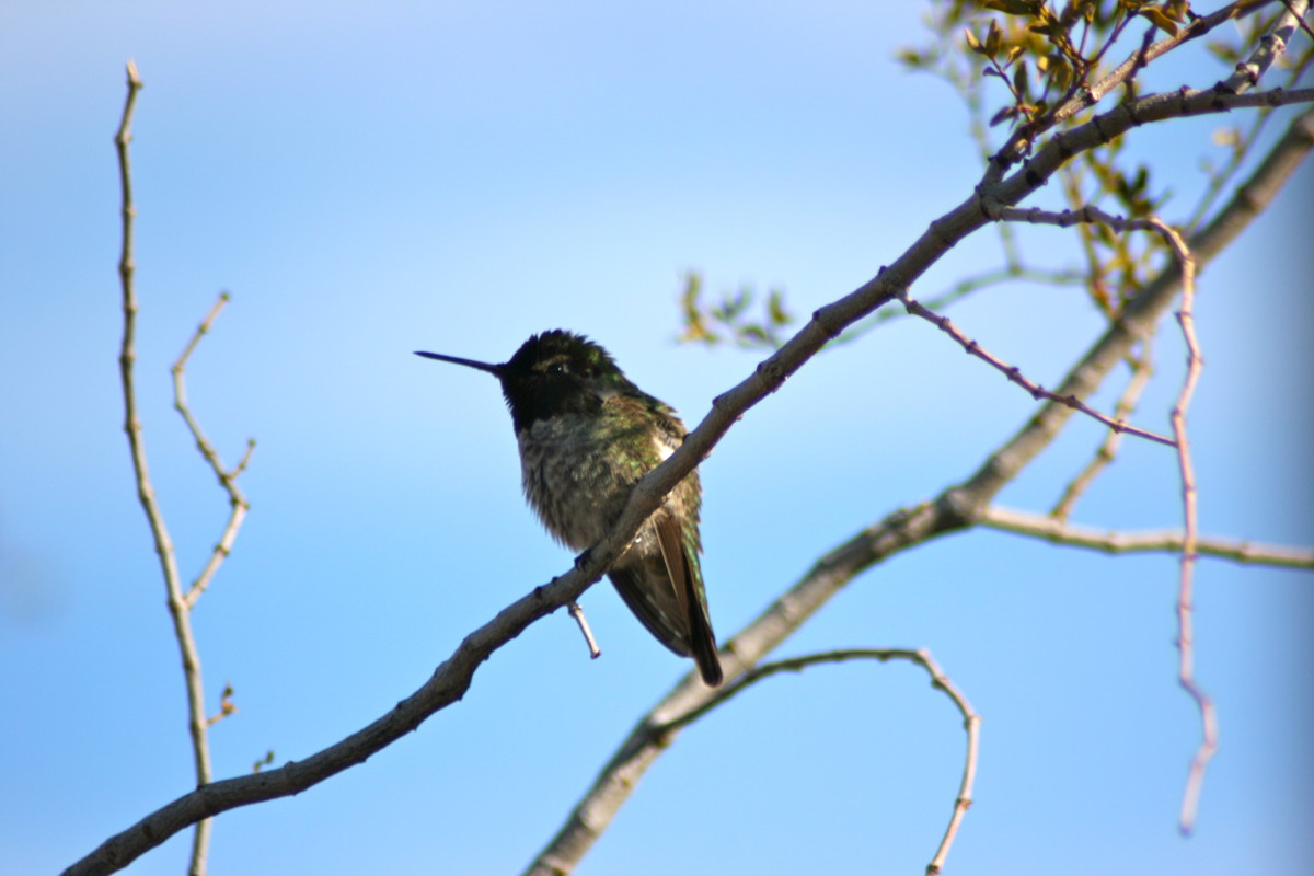 A delicate but feisty hummingbird.  New River, Arizona.