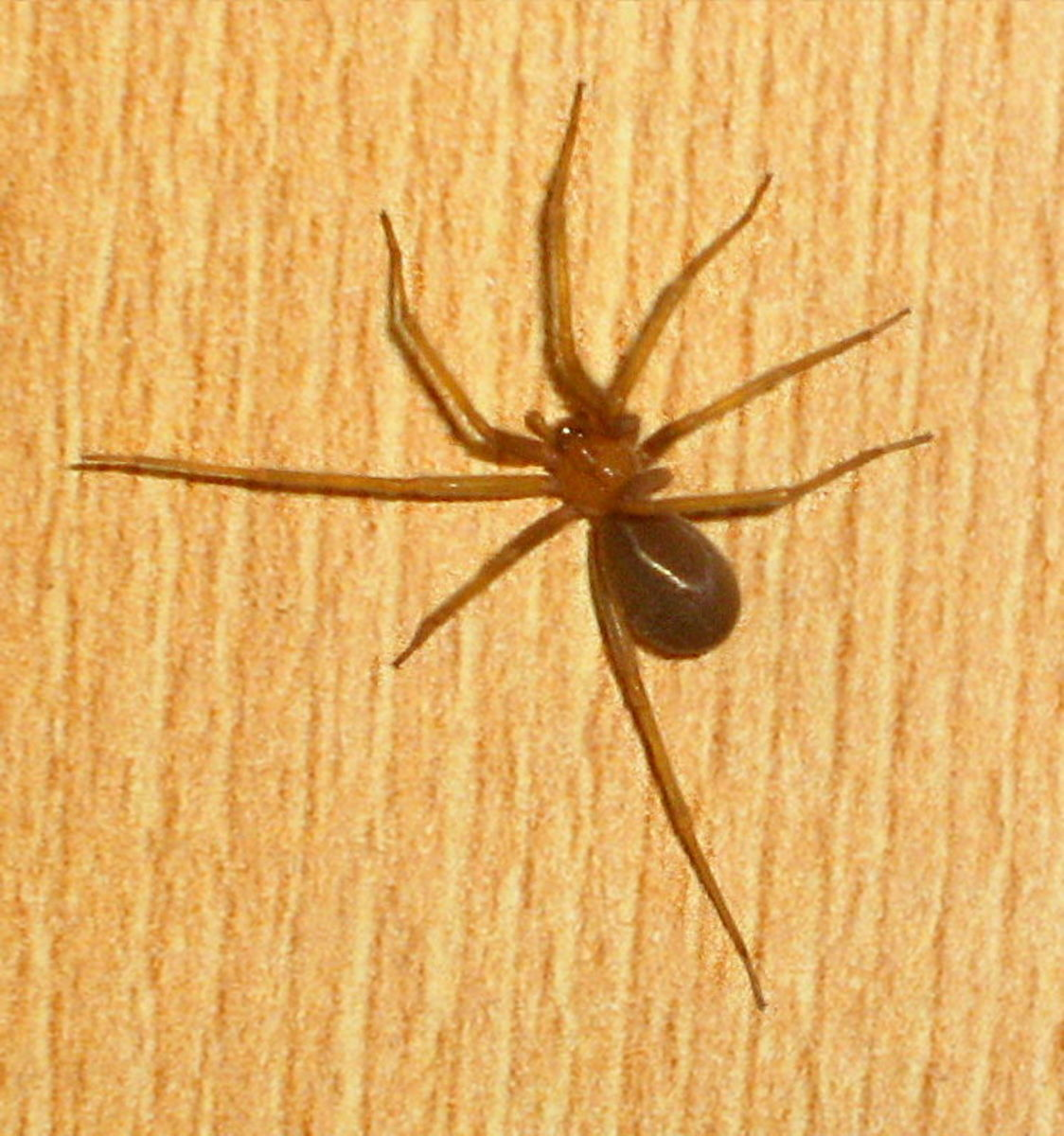 The Chilean recluse is generally considered to be one of the most venomous species of all the recluse spiders.  Although, as its name implies, it is native to South America, it is known to have established itself in the Los Angeles area.