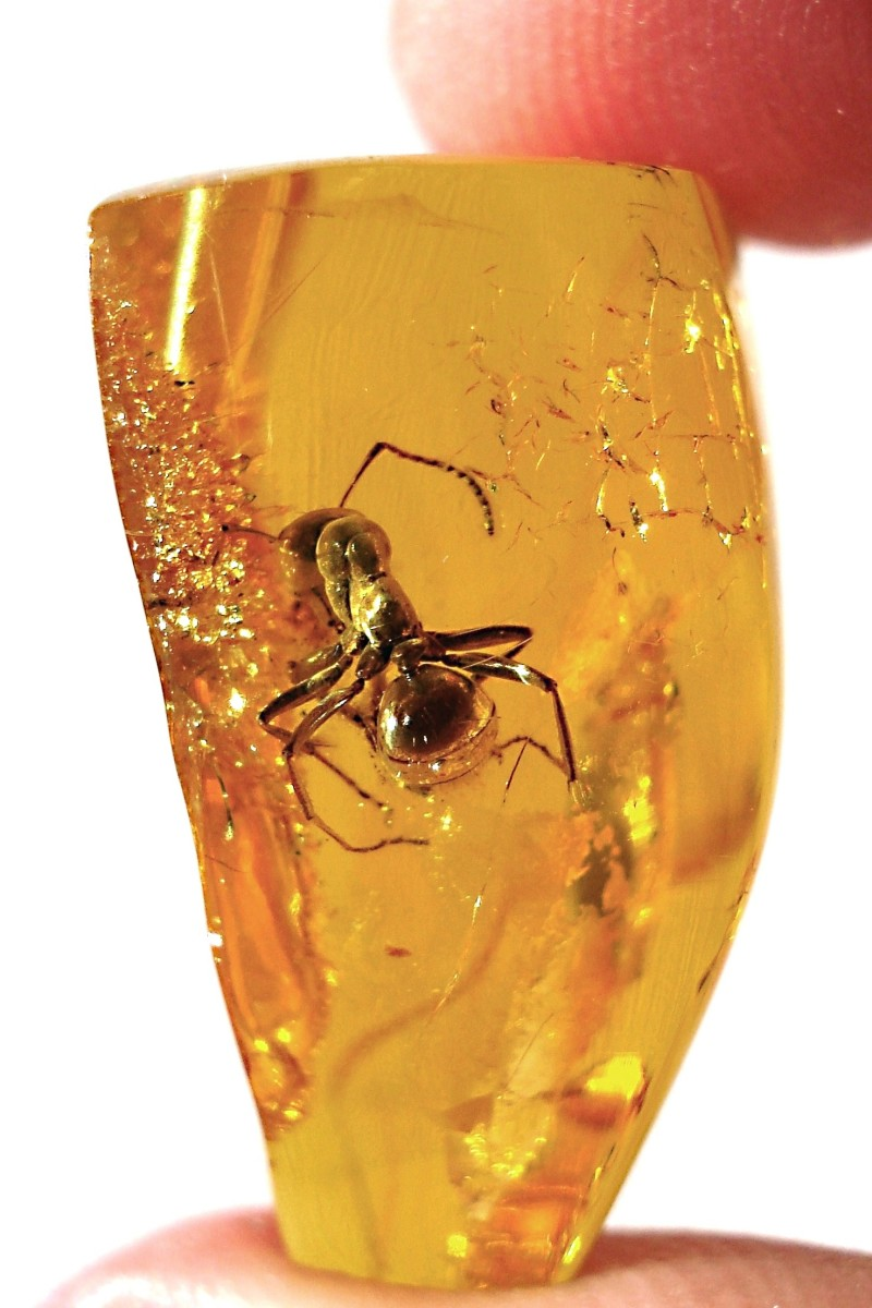 An ancient ant preserved in amber