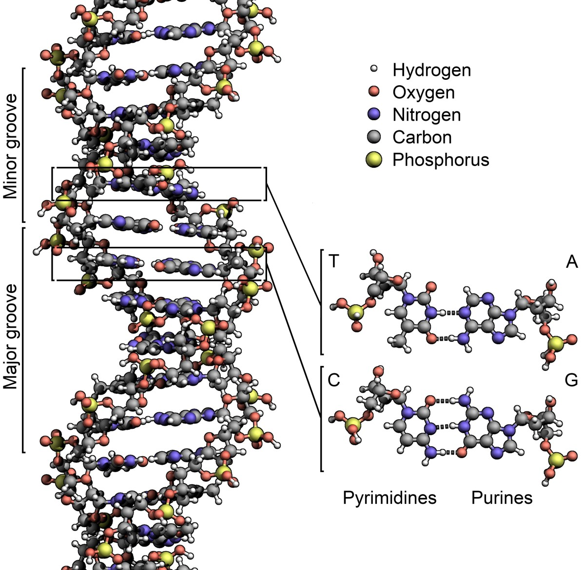 DNA is a long molecule with a complex structure. This illustration shows only a small section of the molecule.