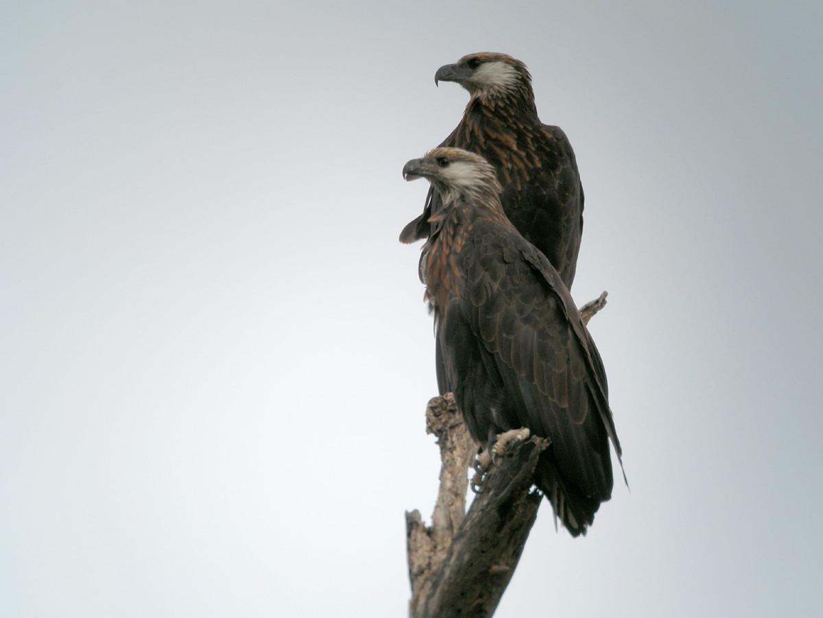 A pair of Madagascar Fish Eagle