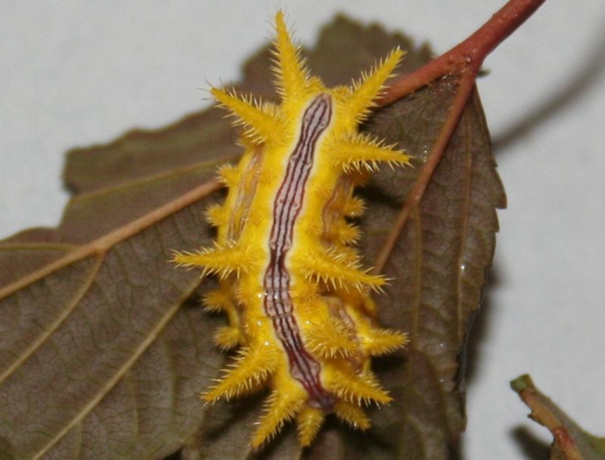 stinging-caterpillar-identification
