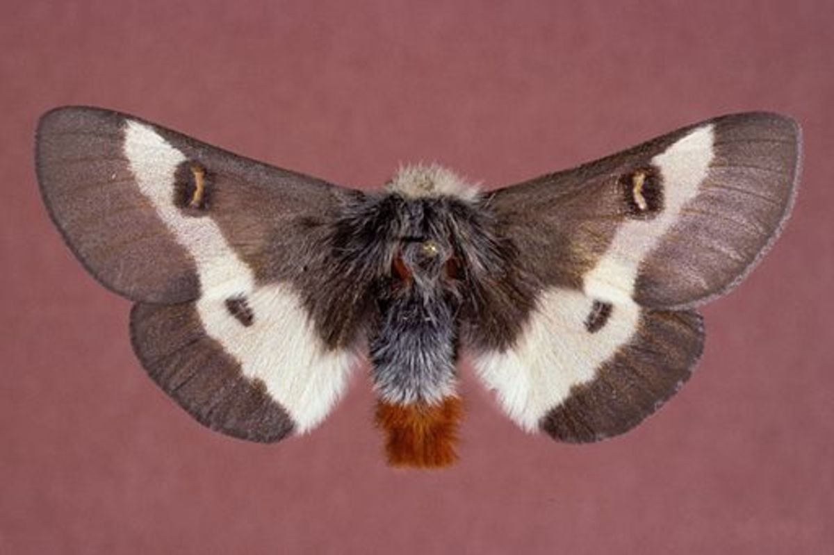 The beautiful adult buck moth