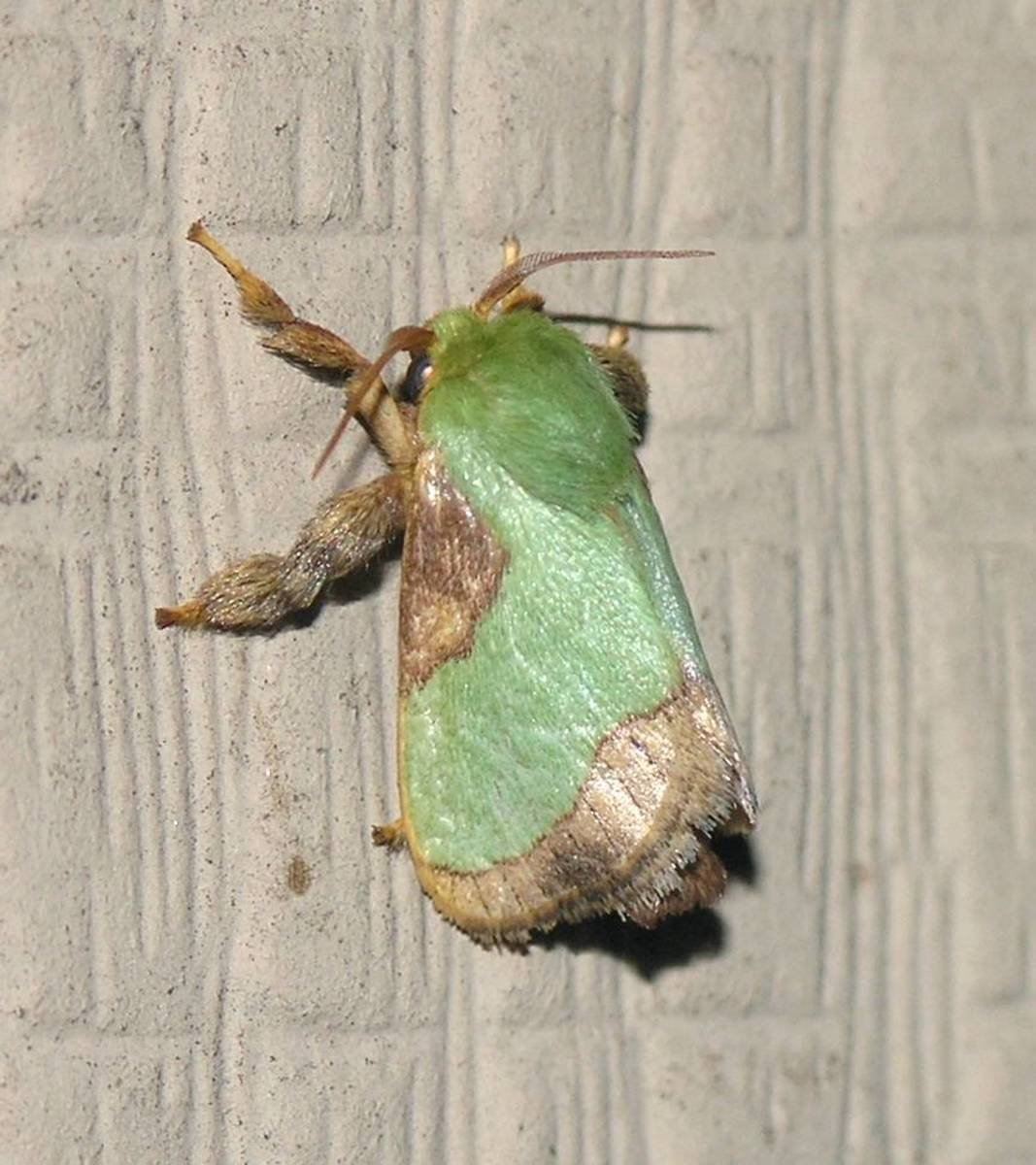 Moth Caterpillar Identification Chart: Stinging Caterpillar Identification And Guide