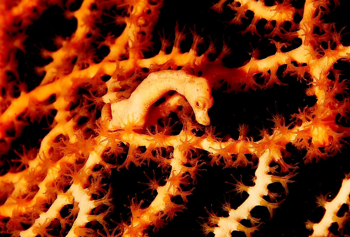 A Denise's pygmy seahorse; the polyps of the sea fan have expanded their tentacles