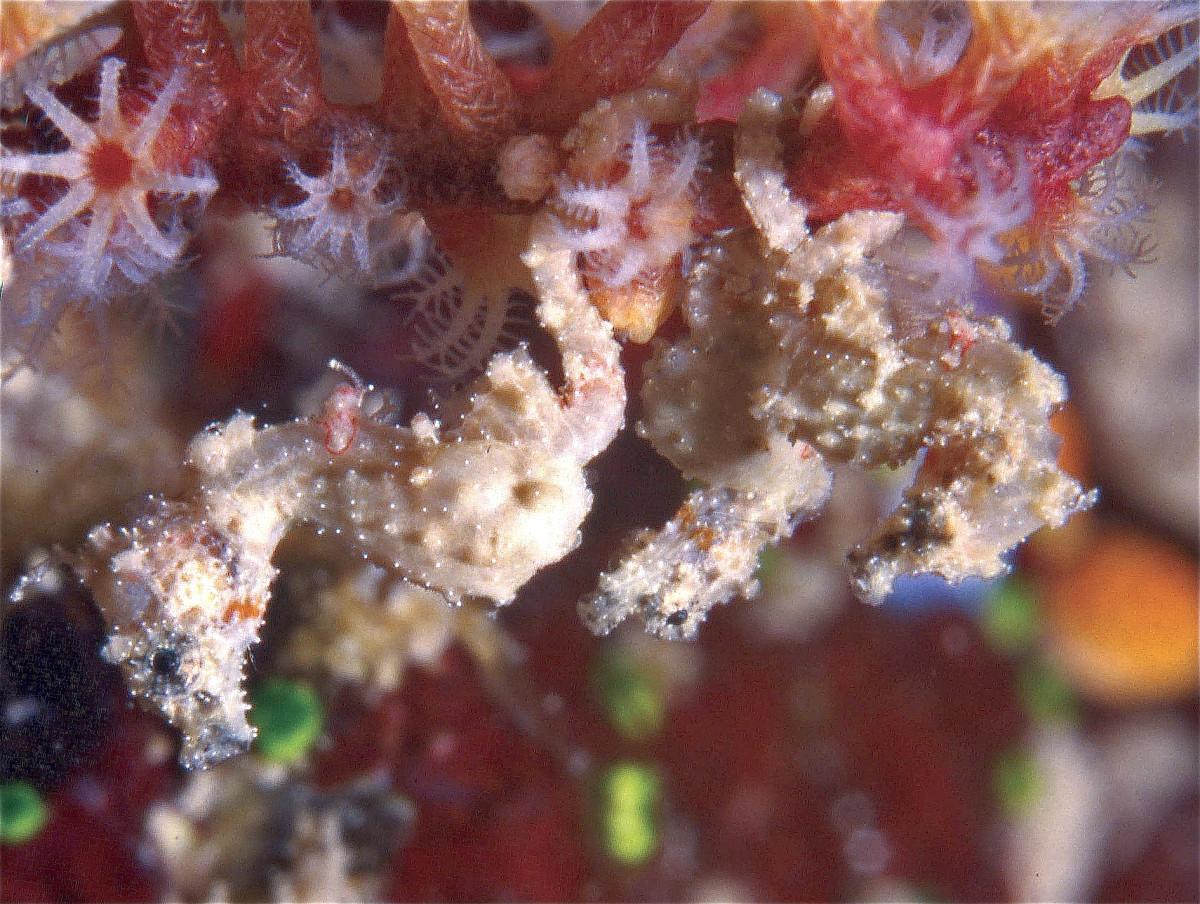 The tiny Satomi's pygmy seahorse