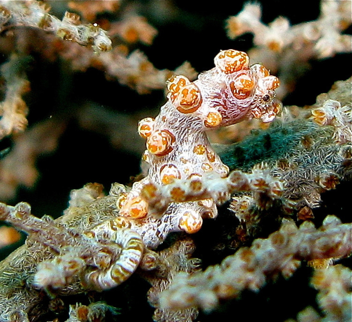 A yellow variety of the Bargibant's seahorse