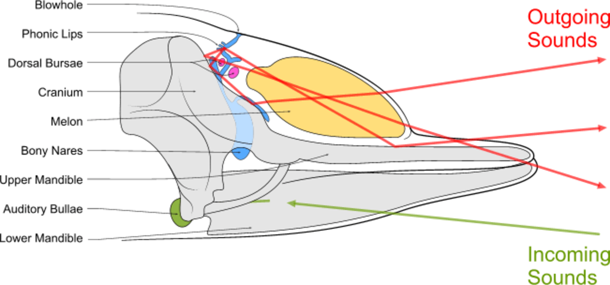 The process of dolphin and toothed whale echolocation
