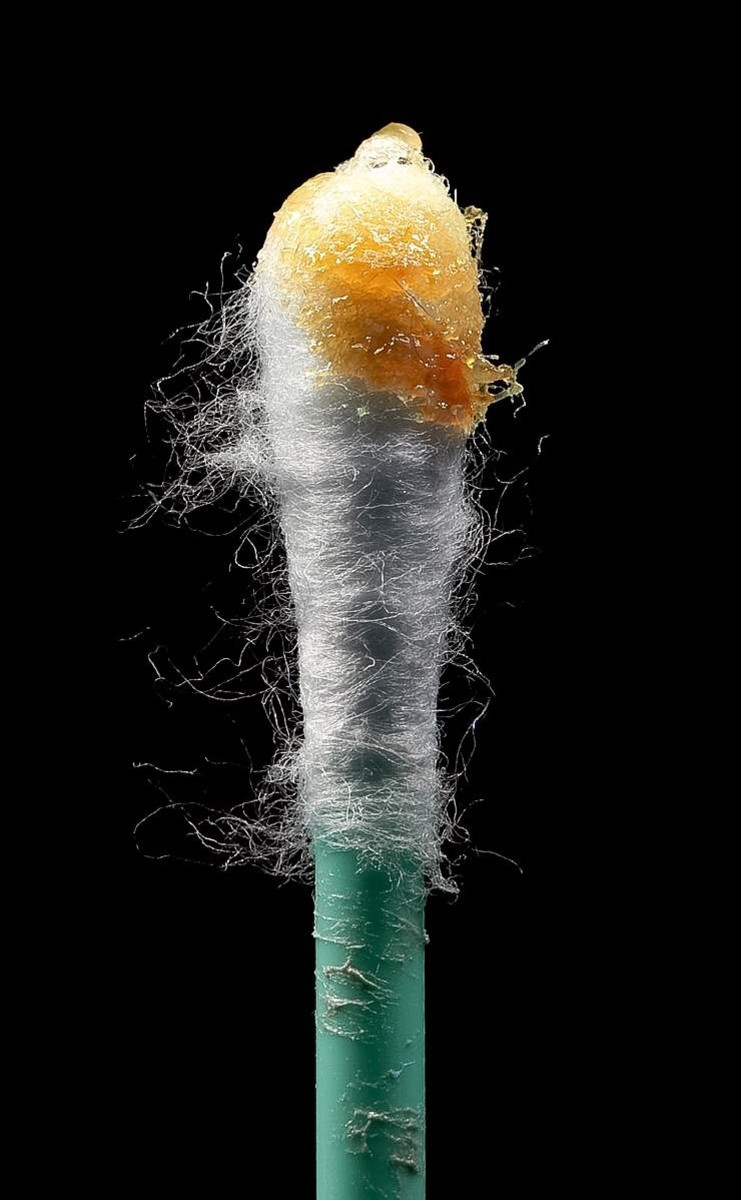 Wet earwax on a cotton swab; it's not a good idea to stick a cotton swab into an ear