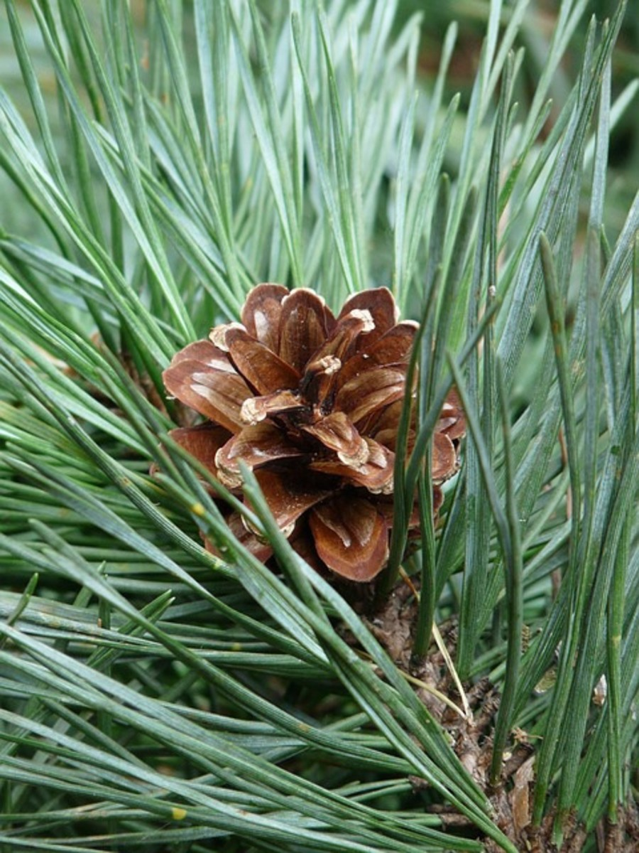 Pine trees such as this one have mycorrhizae.