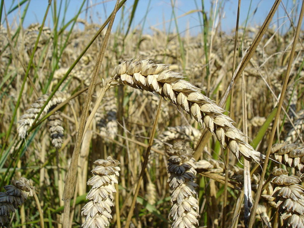 Wheat, while being easy to grow provided our early farming ancestors with less nutrients than their hunter gatherer brethren.